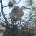 Great Blue on her Nest