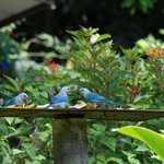  Blue Gray Tanagers feeding on the fruit
