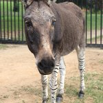  Zonkey !!!!!!!!!!