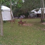 deer in front of tents..
