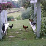  Hens &amp; Archie at the Trellis