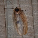  Exotic Amazonian cockroach in my bedroom