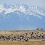 Snow capped peaks and sand hill cranes in Monte Vista