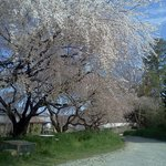  Cherry tree blossoms in April...so beautiful on the farm!~