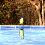  flycatcher drinking from the pool