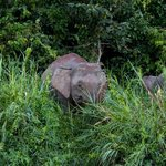  Pygmy elephants