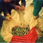  La raccolta delle olive