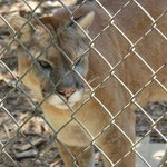 Florida panther