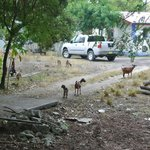  goats everywhere :-)