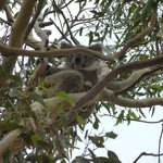  The Koala Herb guided us to