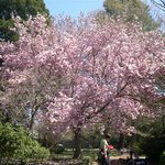  Saucer Magnolia