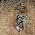 Leopard close to camp