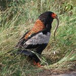  Bateleur eating a snake