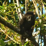  baby howler monkey