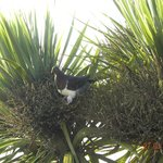 Kereru native wood pigeon