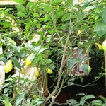  Patio Garden with limes