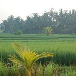 Rice fields view from the room