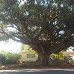  Tree in Cobar