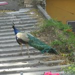 peacock right outside our bedroom