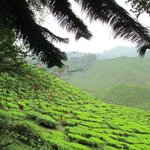 View of the tea plantations (on a trek near to FGH)