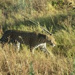  Leopardess in the early evening