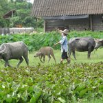 Thai Buffalo Training Camp