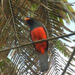  Slaty Tailed Trogon