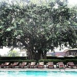 Old Banyan tree at Rimping village.