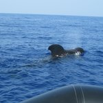 Pilot Whale