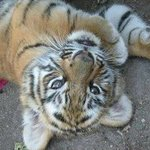  6 week old Bengal Tiger cub @ El Tigre golf course