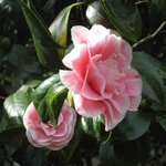 Camelias outside kitchen door