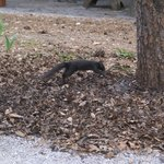 Unusual black squirrel roaming the park.