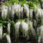  white wysteria floribunda