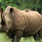  Makutsi Rhino