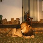  Lion visiting Makutsi Camp