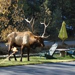  Elk roaming the property