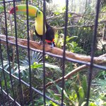 Tucan at the Belieze Zoo
