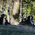 Bear and Forest, the resident Bernese