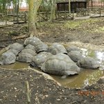 Giant Land Tortoises
