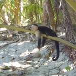 Monkey by the beach in Manuel Antonio National Park