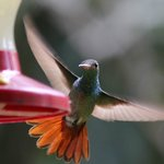  Rufous tailed humming bird from veranda