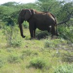  Jomo the oldest elephant in Samburu