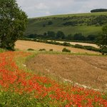  poppy field at back of house
