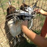 the friendly goats