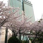  Cherry blossoms in full bloom at the back of hotel