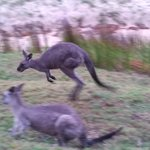 Kangaroo in motion