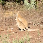  Wallabies abound