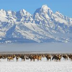  Bentwood Inn_National Elk Refuge in Winter