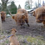 Hamish and the Highland Cattle