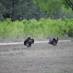 Turkey by our cabin(#11)